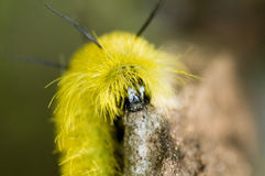 Furry yellow caterpillar face Royalty Free Stock Image