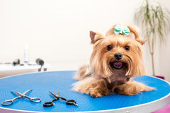 Furry yorkshire terrier dog lying on table in pet salon. Cute furry yorkshire terrier dog lying on table in pet salon Stock Image