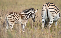 A furry zebra foal follows mother Stock Photo
