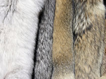 Furs. Wild animal tanned furs including coyote and fox Stock Images