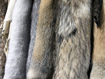 Furs and Skins. Wild animal tanned furs and skins including coyote and fox Royalty Free Stock Photo