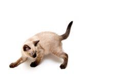 Furtive Kitten royalty free stock image