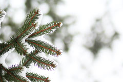 Furtree filial under snö Royaltyfria Bilder