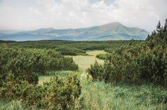 Furtrees in de Karpathian-hooglanden Royalty-vrije Stock Foto's