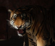 The fury on the chain. Chained tiger which is in the Nong Nuch Garden Zoo in Pattaya Thailand Royalty Free Stock Photography