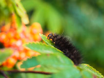 Fury dark brown caterpillar eating on a fresh green leaf. In forest Royalty Free Stock Photography