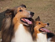 Fury Mother and puppy Tan White Shetland Sheepdog Stock Photo