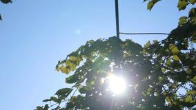Fusée de lumière du soleil et de lentille, feuilles d'arbre clips vidéos