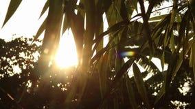 Fus?es de lumi?re du soleil par les feuilles en bambou clips vidéos