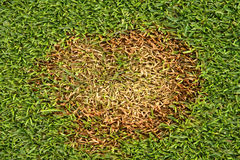 Fusarium Patch Michrodochium Nivale. Stock Image