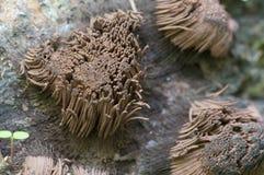 Fusca en un árbol caido viejo, tiro macro de Stemonitis Foto de archivo libre de regalías