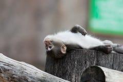 fuscata日本猕猴属短尾猿 免版税图库摄影