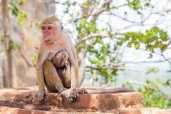 Fuscata Macaca макаки красных лиц na górze держателя SIgiriya Стоковое фото RF