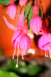Fuschia Royalty Free Stock Photography