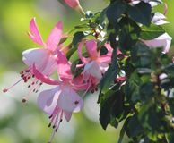Fuschia Stockfoto
