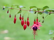 Fuschia. A row of fuschia flowers in various stages of bloom from the new buds on the left, through the open bloom, to the dead stubs on the right Stock Images