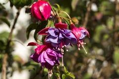 Fuschia blommor royaltyfria bilder