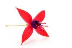 Fuschia Blume Lizenzfreies Stockbild