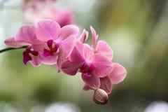 Fuschia Colored Phalaenopsis de floraison d'isolement Image libre de droits
