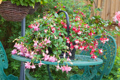 Fuchsia container plant on garden table Stock Photos