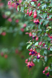 Fuschia flower Royalty Free Stock Photos