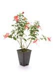 Fuschia flower Stock Image