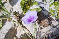Fuschia Flower blu Fotografia Stock Libera da Diritti