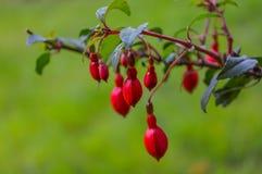 fuschia flower buds Stock Photography