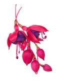 Fuschia Flower (fuschia hybrida) Lizenzfreie Stockfotos