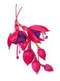 Fuschia Flower (fuschia hybrida) Royalty Free Stock Photos