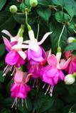 Fuchsia flowers. Beautiful pink fuchsia flowers in a garden stock image