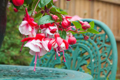 Fuchsia flowers in close up on a garden table Stock Photo
