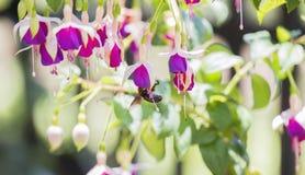 Fuschia Flowers hermoso en un jardín con un néctar que busca de la abeja Imagen de archivo