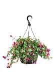 Fuschia in a Hanging Pot. Hanging pot of a Fuchsia plant with clipping path Royalty Free Stock Photo