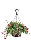 Fuschia In A Hanging Pot Royalty Free Stock Photo