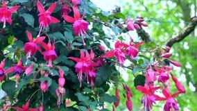 Fuschia - kleine purpurrote Blumen, gutes Hintergrundfoto vom botanischen Garten Stockfotos