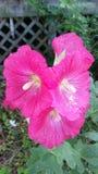 Fuschia Michigan Hollyhock in der Blüte lizenzfreie stockbilder