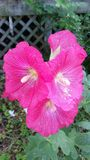 Fuschia Michigan Hollyhock i blom royaltyfria bilder