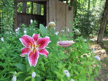 Fuschia and pink stargazer lily in front of woodshed Royalty Free Stock Photography