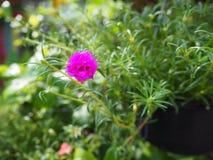 Fuschia różowi portulaka pełnego kwiat w ranku z zielonymi liśćmi (Portulaca grandiflora) zdjęcie stock