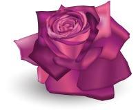Fuschia Rose. Illustration of a Fuschia coloured rose Stock Photos