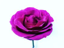 Fuschia rose royalty free stock photography