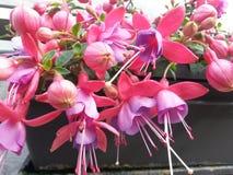Fuschia roxo bonito Fotos de Stock Royalty Free