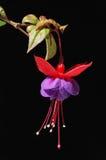 Fuschia viola e rosso Fotografia Stock Libera da Diritti