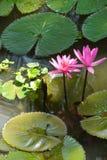Fuschia water lilies Stock Photography