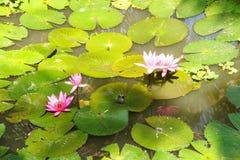 Fuschia water lilies Stock Photos