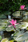 Fuschia water lilies Stock Image