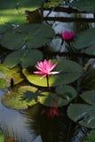 Fuschia water lilies Stock Photo