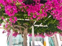 Fuschsia roze boom op Santorini, Griekenland Stock Afbeelding