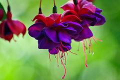 Fuscia Royalty Free Stock Image